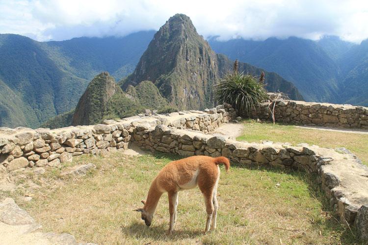 A llama at Machu Picchu, Peru
