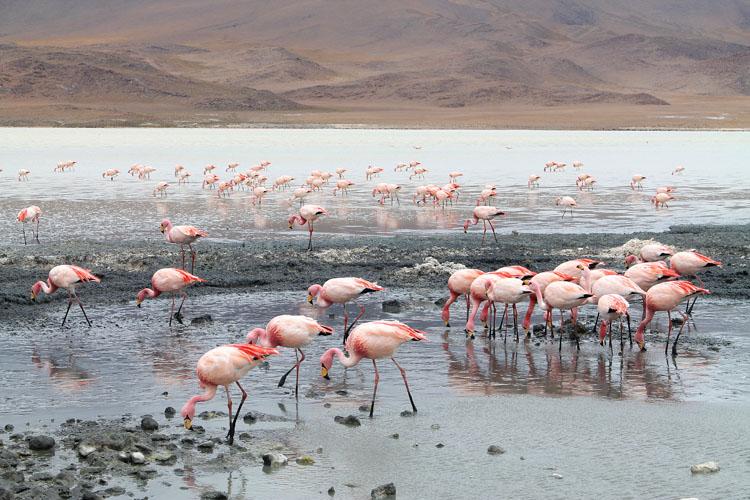flamingoes-bolivia