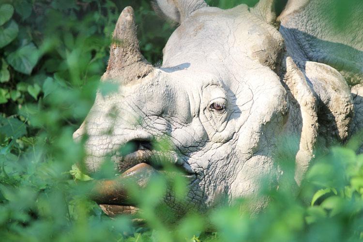 Rhinos in Chitwan National Park, Nepal
