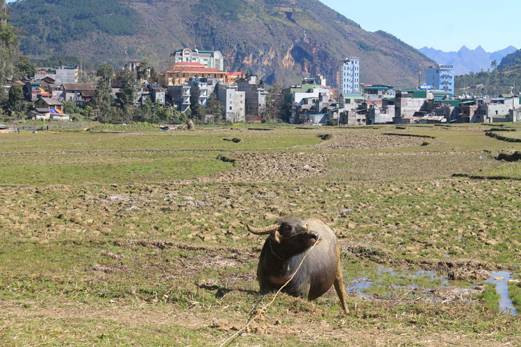 Hiking in Dong Van, Vietnam -- a water buffalo in the rice fields