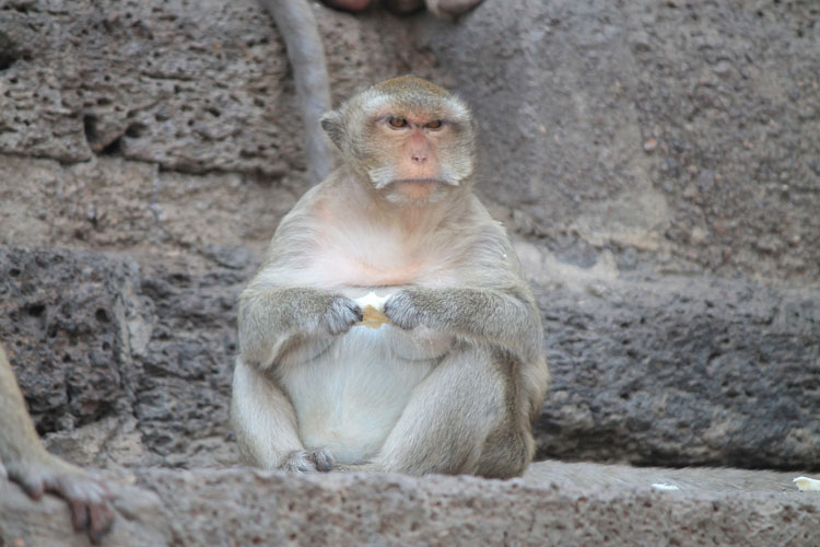 Exploring the ruins in Lopburi, Thailand -- a grumpy monkey
