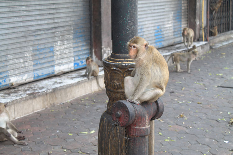 Exploring the ruins in Lopburi, Thailand -- street monkeys