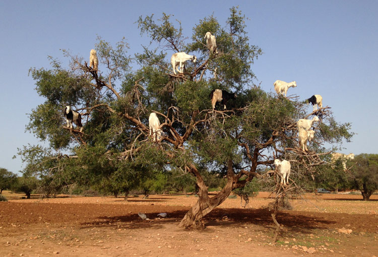 Backpacking in Morocco -- Tree goats