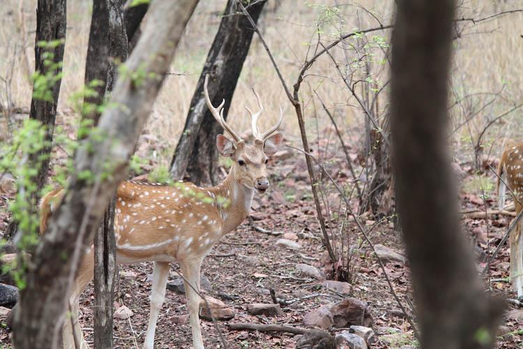 deer-tiger-safari-ranthambore-india