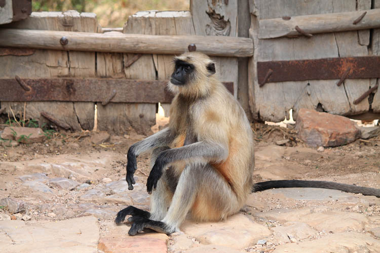 The streets of Bundi, Rajasthan, India -- monkeys at Taragarh Fort