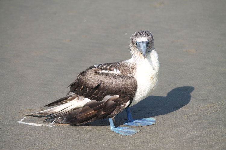Mancora travel guide -- a blue footed booby