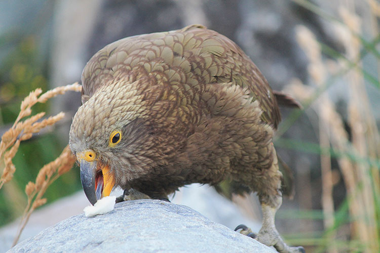 A kea in Mount Cook National Park, New Zealand