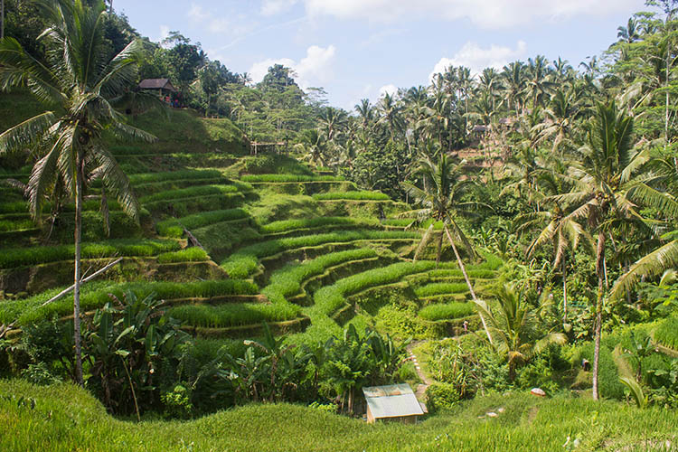Where are the best rice terraces in Bali? Tegalalang VS Jatiluwih