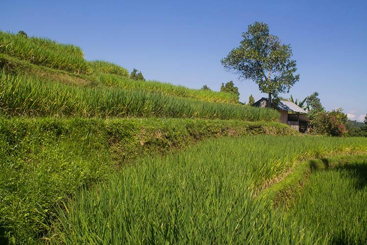 The best rice terraces in Bali, Indonesia - Munduk