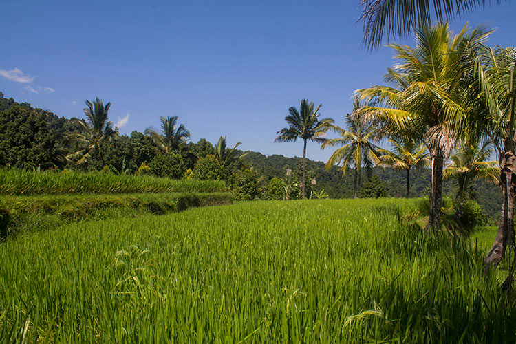 Things to do in Munduk, Bali -- see rice fields