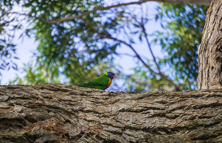 A colourful bird in Huskisson, Jervis Bay, Australia